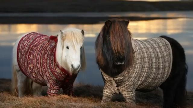 Scotland's Shetland Ponies Wearing Cardigans Is The Most Adorable Thing