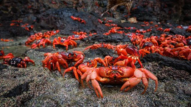 Millions Of Red Crabs Take Part In Epic Migration On Christmas Island Each Year