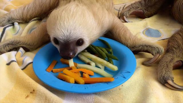 Daily Escape: Dinner time at Costa Rica's Sloth Sanctuary