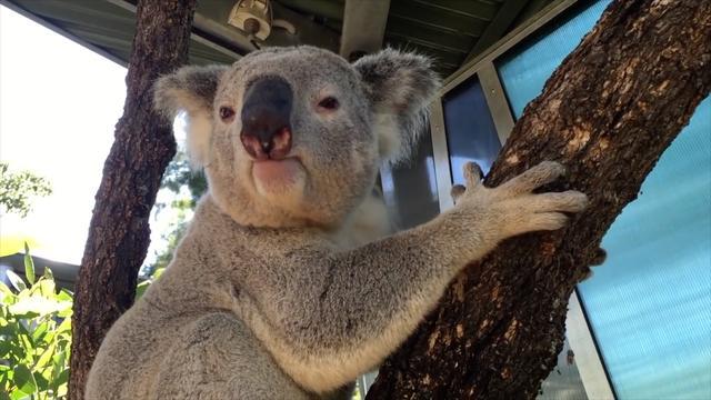 Koala Mating Call Is Something Else