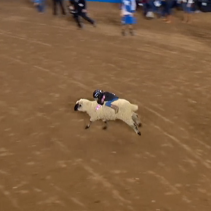 Forget horses, sheep-riding is way more fun