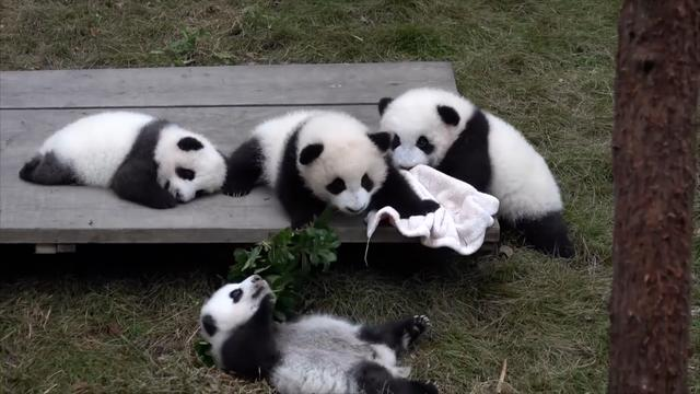 Daily Escape: Giant pandas playing in Sichuan, China