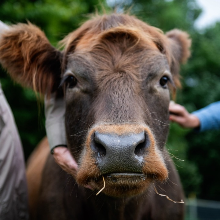 You Can Pay To Cuddle With A Cow At This Farm In New York