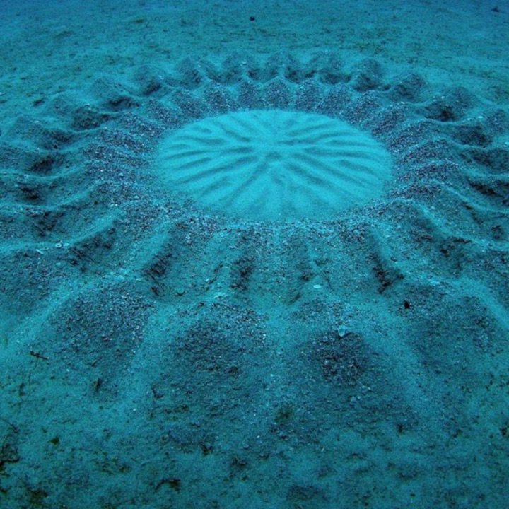 You'd never guess who creates these mysterious underwater circles in Japan