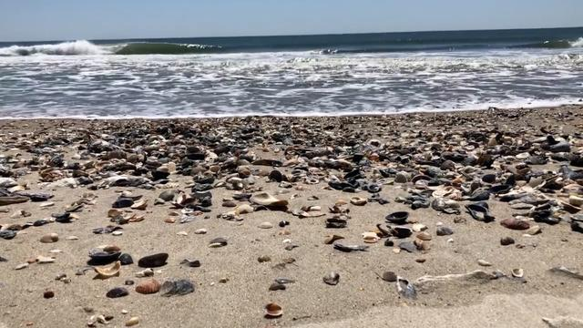 With Humans Gone, Seashells Take Over Beach In North Carolina