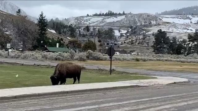 Bison Roams Peacefully As Yellowstone Remains Closed To Visitors