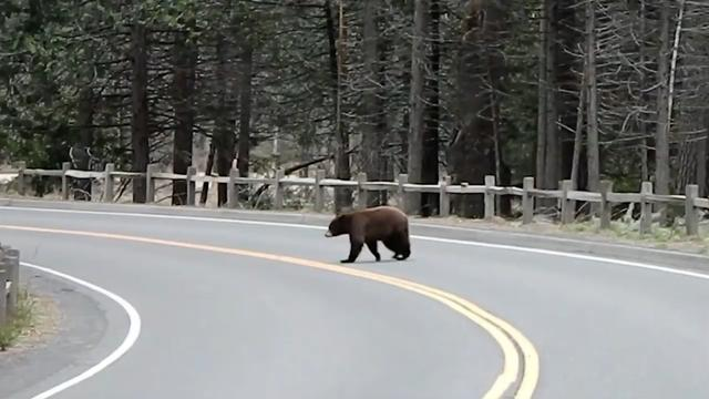 Bear Crosses Empty Road And Other Eerie Scenes From Human-Free Yosemite National Park