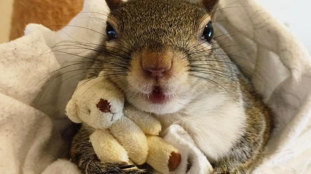 Squirrel Rescued From Hurricane Now Sleeps With Teddy Bear