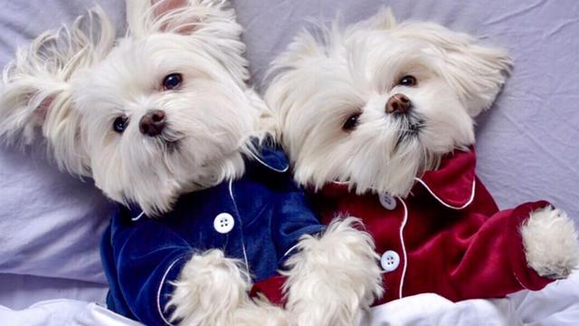 Meet The World's Most Pampered Pooches
