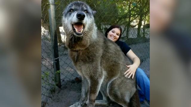 Human-Sized Yuki Is A Rare Wolfdog Hybrid