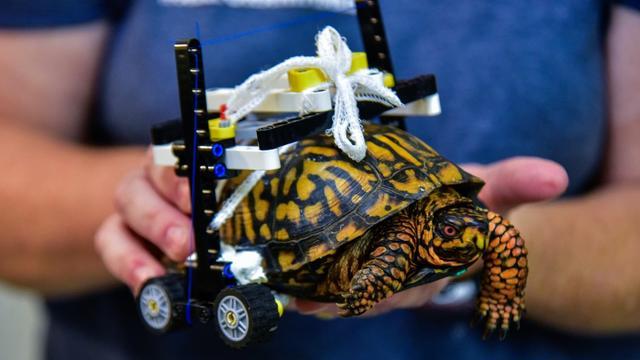 Turtle Heals Using Lego Wheelchair