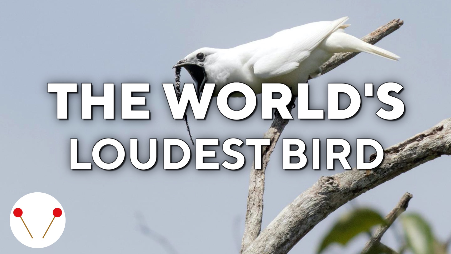 The world's loudest bird