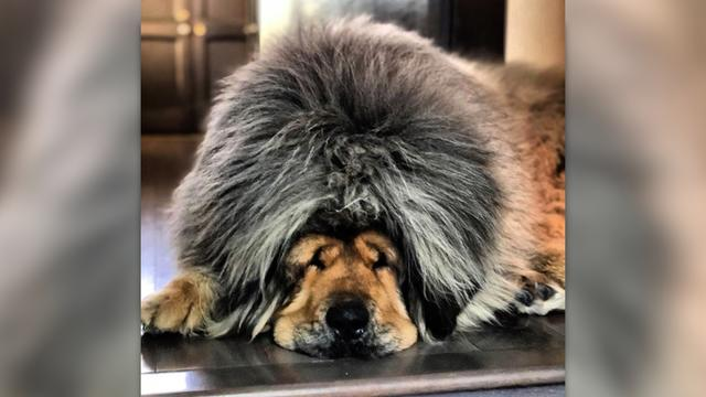This dog looks like the world's cutest lion