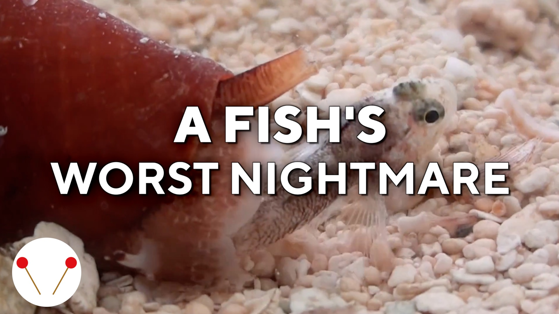 This cone snail is a fish's worst nightmare