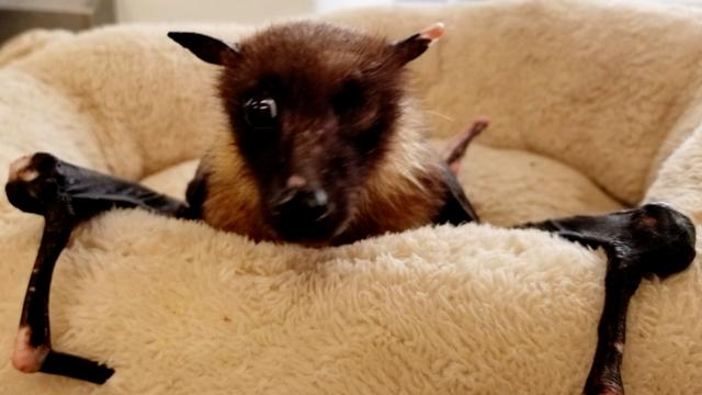 At 33, this one-eyed bat may be the oldest in captivity