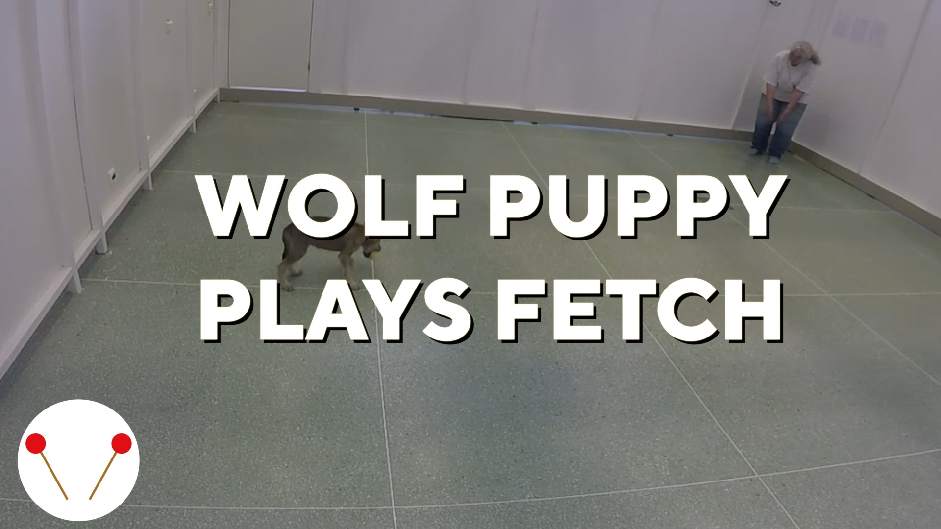 Wolf puppy plays fetch, amazing scientists