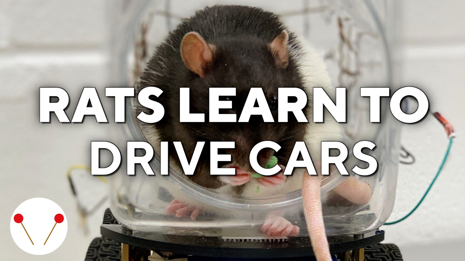 This rat learned to drive a tiny car