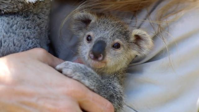 This baby koala is being hand-raised by humans