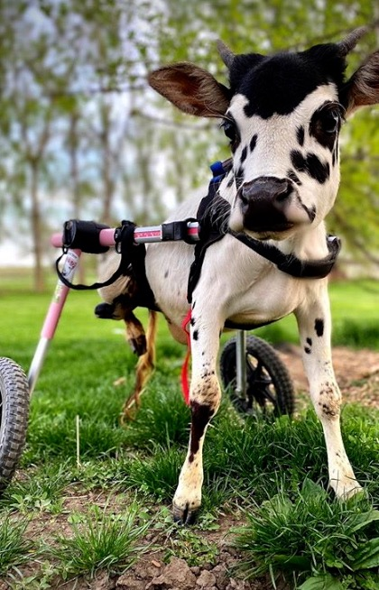 This miniature cow with damaged legs zips around on wheels