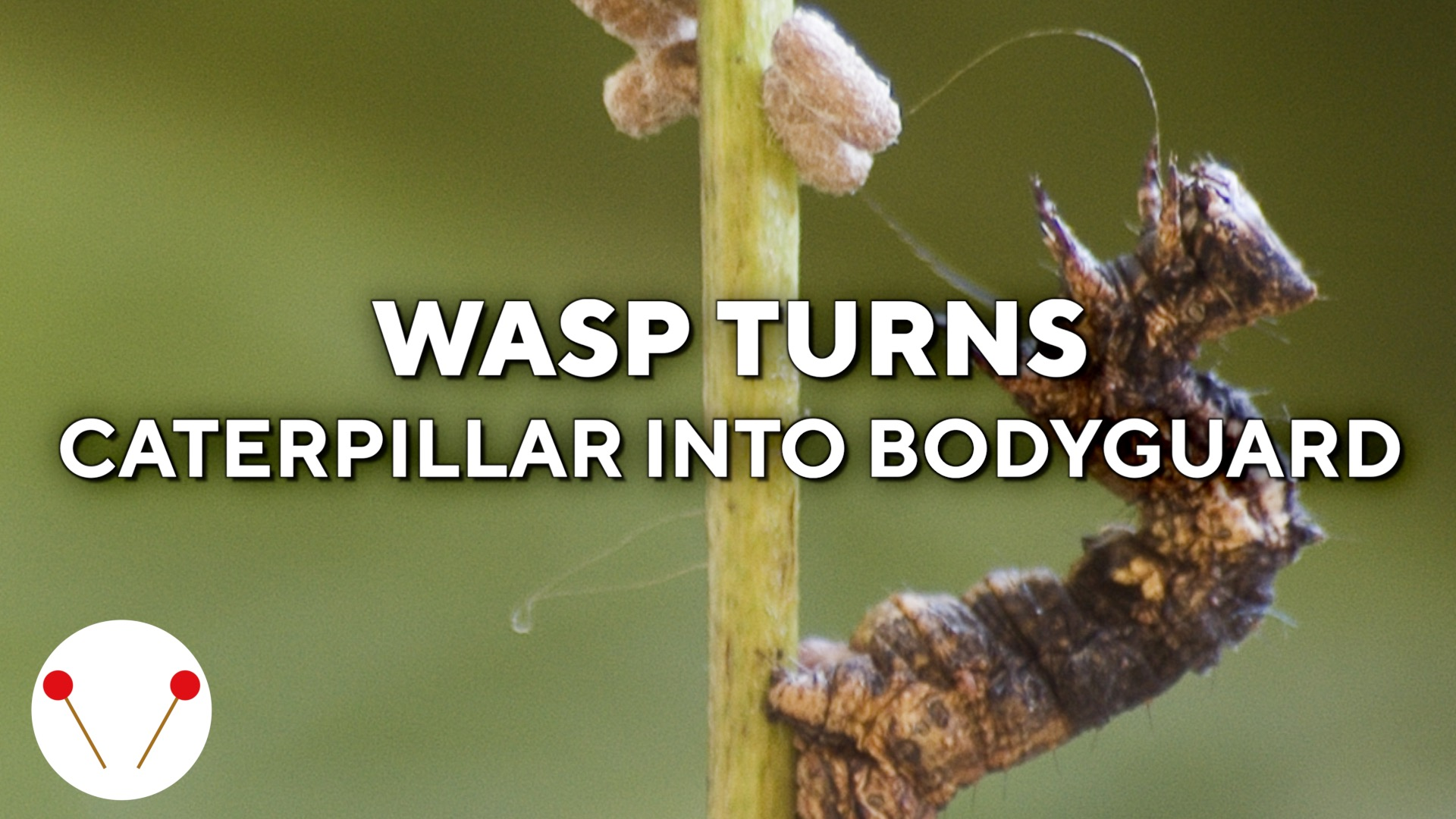Wasp turns zombie caterpillar into its bodyguard