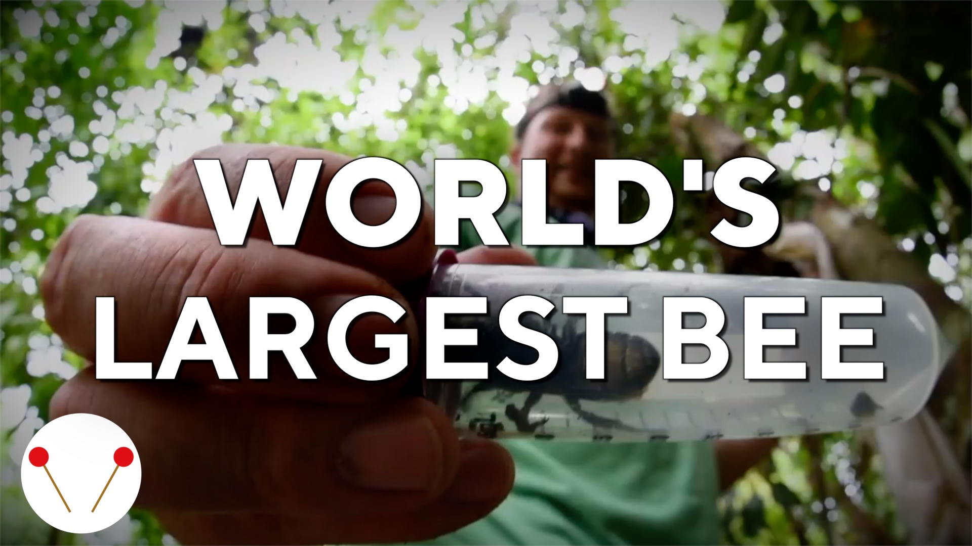 Meet the world's largest bee #science