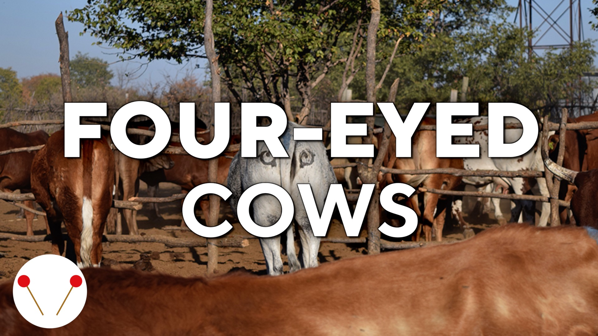 'Four-eyed' cows keep lions away