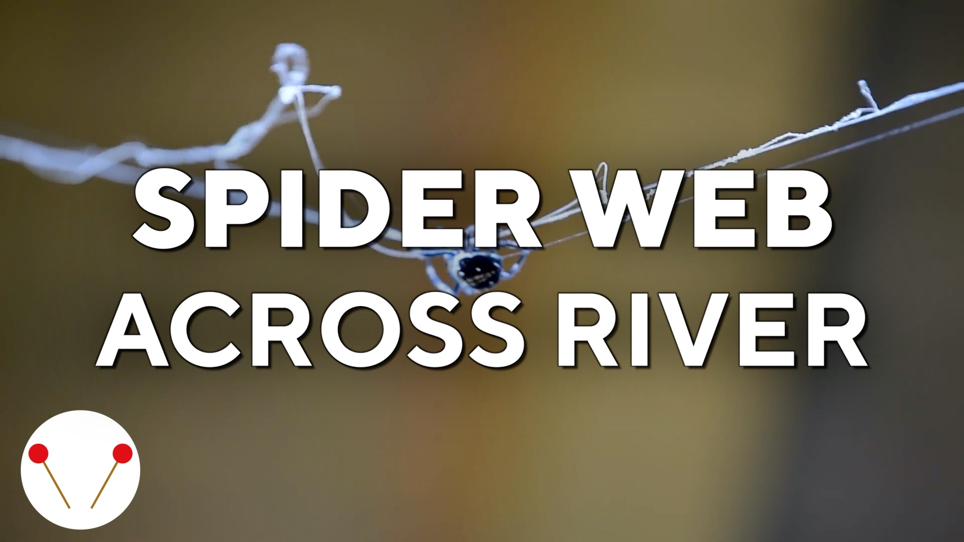 Guess how this spider crosses a river