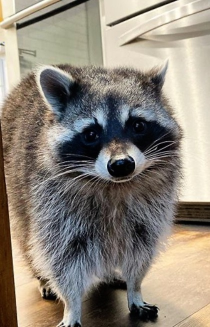 This raccoon won't leave family's home after falling from tree