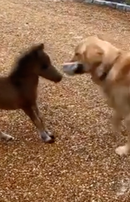 This miniature horse is smaller than its dog friends