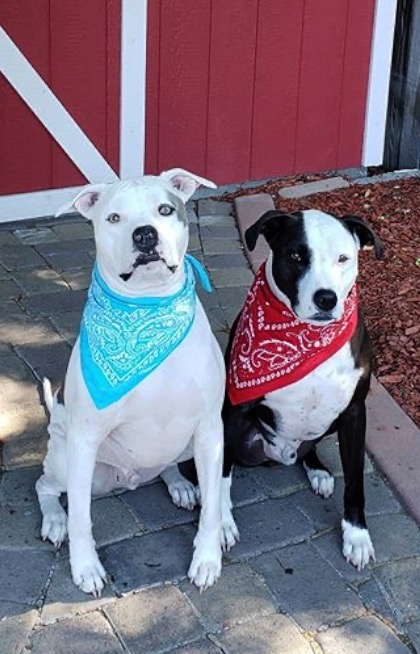 Pit bull brothers become best friends after getting reunited